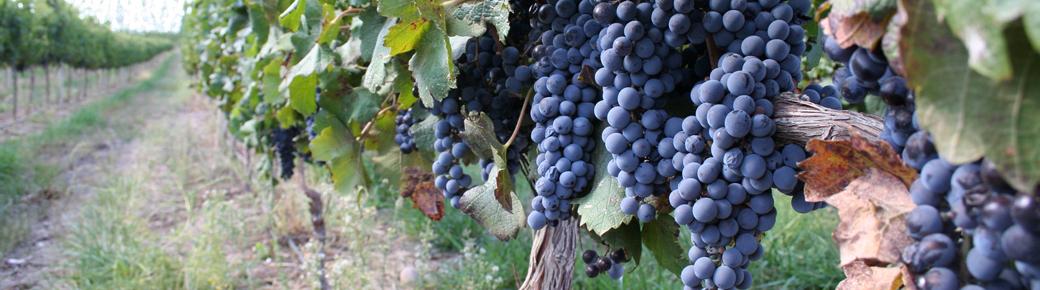 09-Grapes-957x271